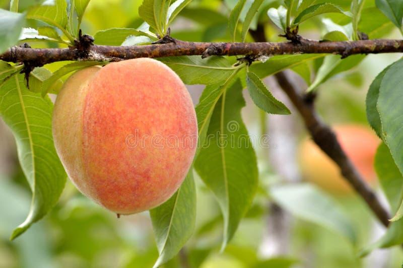 Зрелая смертная казнь через повешение персика на ветви стоковые изображения rf