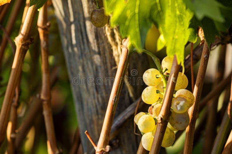 Зрелые белые виноградины на виноградном вине растя на Vysehrad & x28; Прага, чехословакское republic& x29; виноградник в солнце п стоковое фото rf