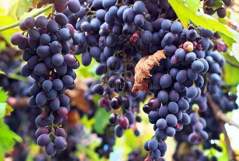 Зрелые виноградины Молдавия. стоковая фотография