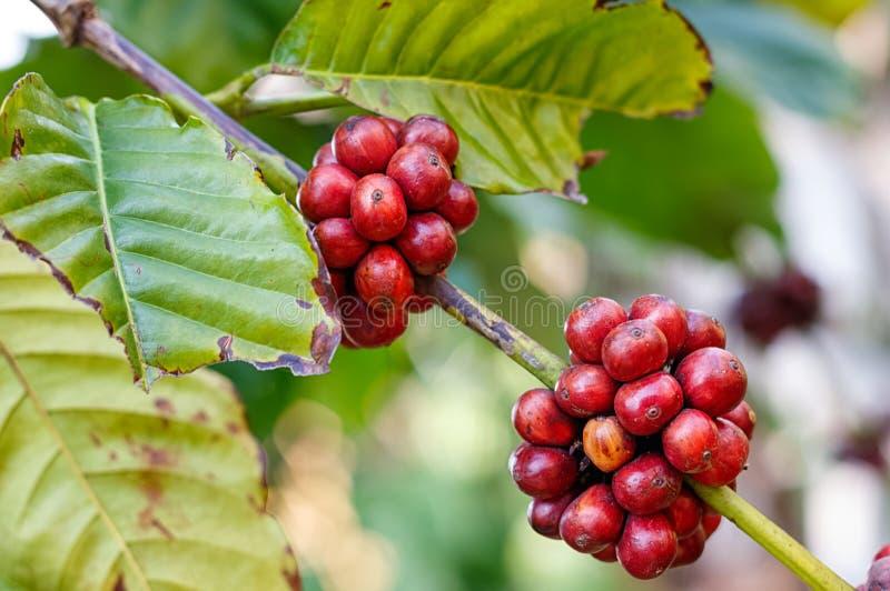 Зрелые кофейные зерна стоковое изображение
