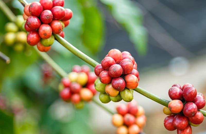 Зрелые кофейные зерна стоковые изображения