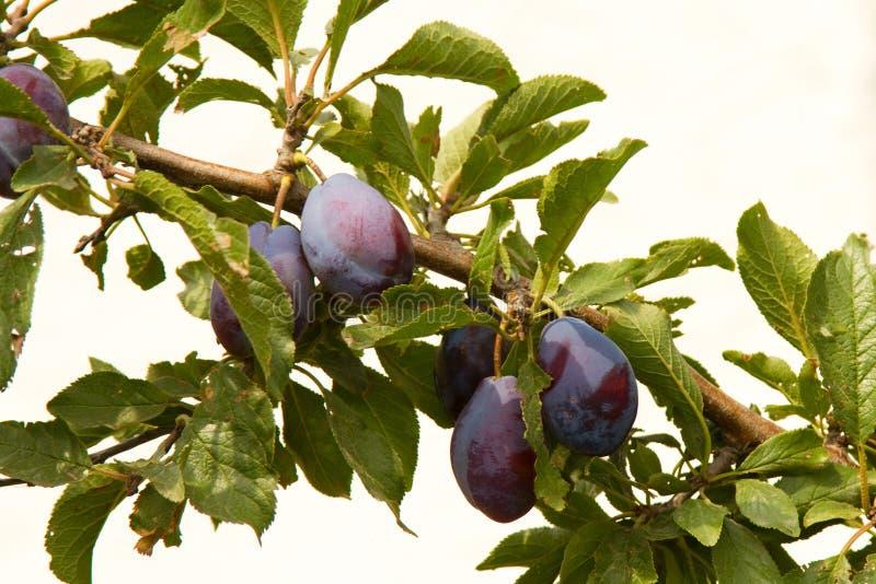 Зрелые сливы на ветви дерева стоковые фотографии rf