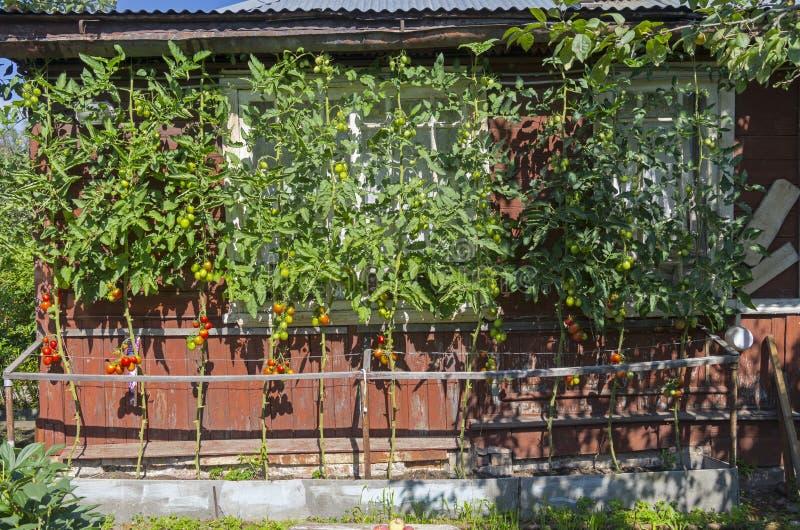 Зрелые томаты против стены загородного дома стоковые изображения