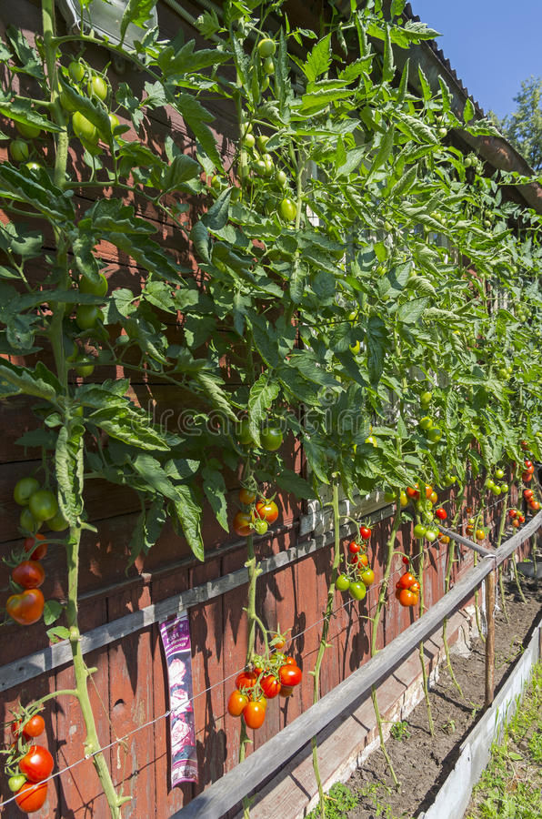 Зрелые томаты против стены загородного дома стоковые фотографии rf