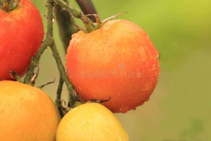 Зрелые томаты растя в саде стоковое изображение