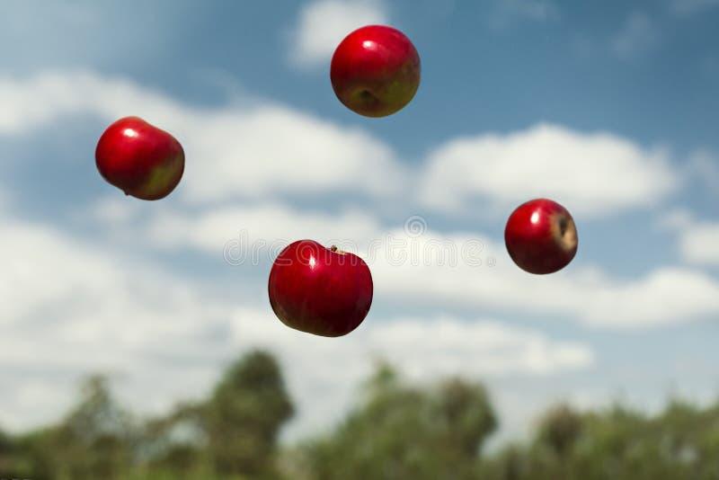 Зрелые яблоки в невесомости брошенные в воздух стоковая фотография rf