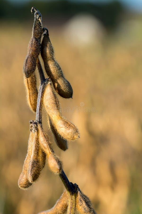 Зрелые soyabeans стоковое изображение