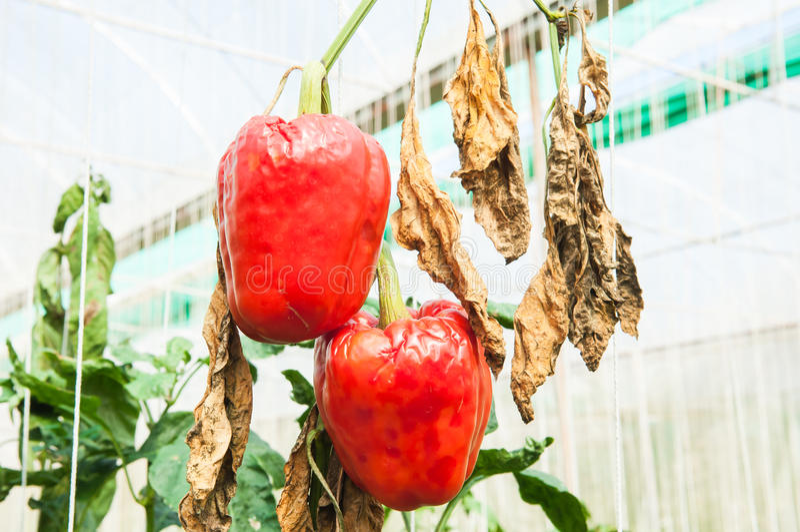 Зрелый болгарский перец был заболеванием стоковые фото