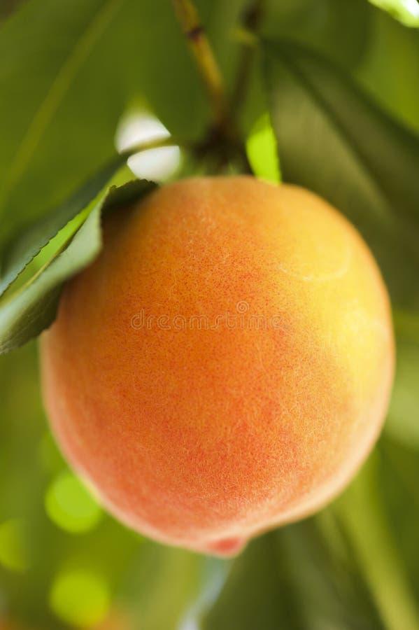 Зрелый конец персика вверх стоковые фотографии rf