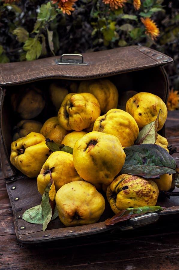 Зрелый плодоовощ айвы стоковая фотография rf