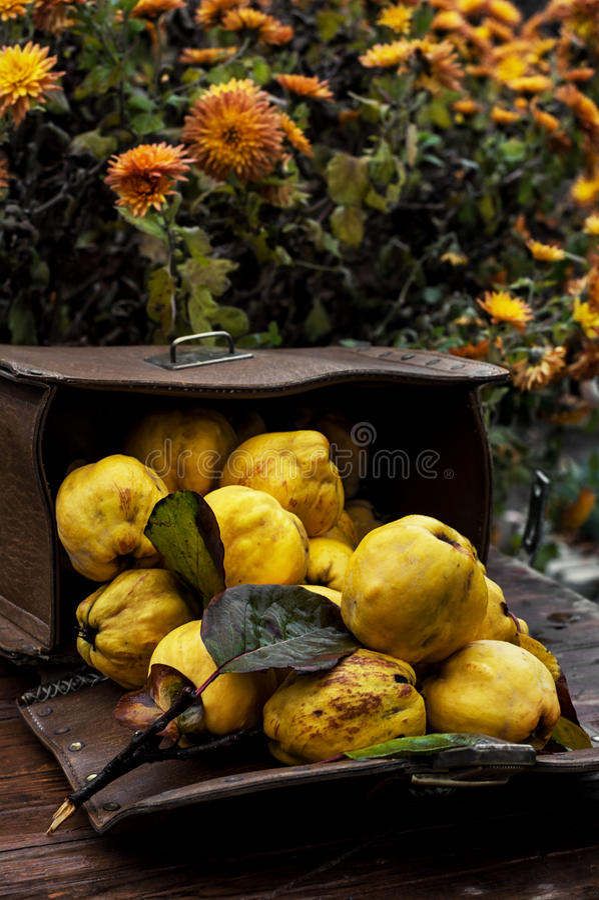 Зрелый плодоовощ айвы стоковые изображения rf