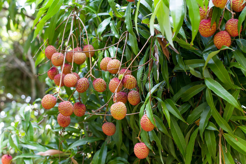 Зрелый плодоовощ lychee на дереве i стоковое фото