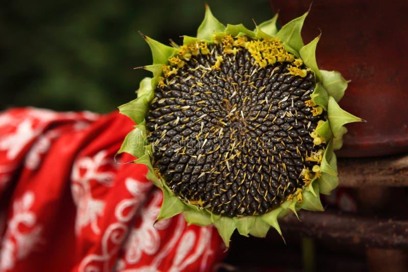 Зрелый солнцецвет цветка - лето в сельской жизни стоковое изображение rf