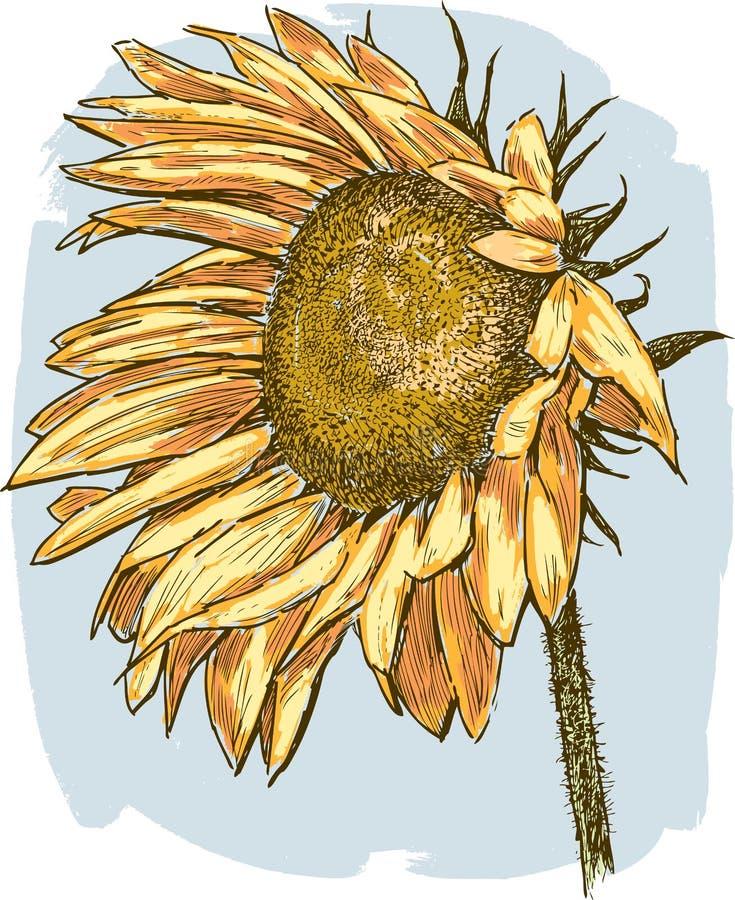 зрелый солнцецвет иллюстрация штока