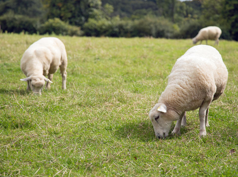 2 зрелых овцы пася в поле с другими на заднем плане стоковая фотография rf