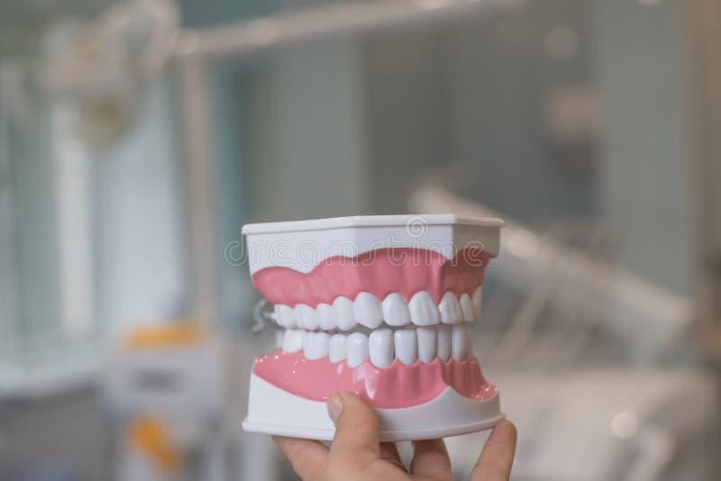 Зубоврачебная модель зубов изолированных с путем клиппирования на предпосылке клиники дантиста Изучать зубоврачевание и офис дант стоковое изображение