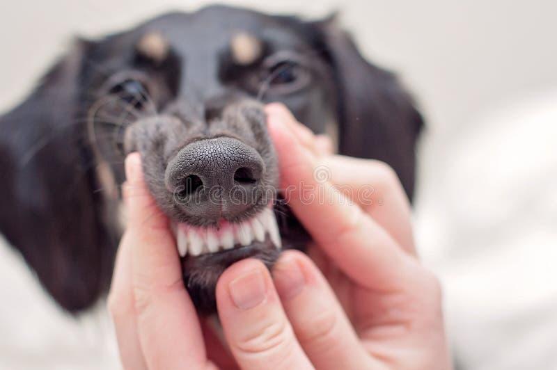 Зубоврачебный медицинский осмотр - чистые зубы собаки, держа рот маленького черного щенка saluki стоковые фото