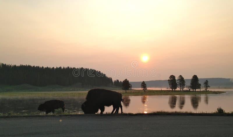 зубробизон пася национальный парк yellowstone стоковые фото