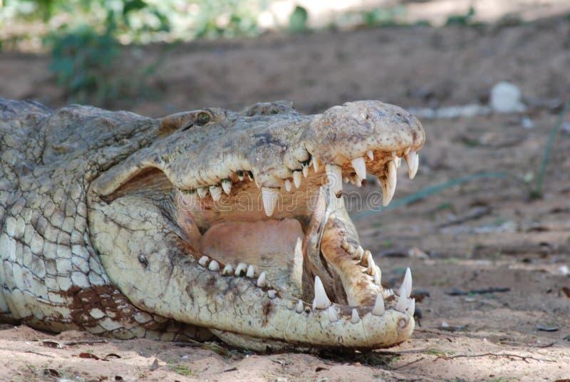 зубы крокодила стоковые фотографии rf