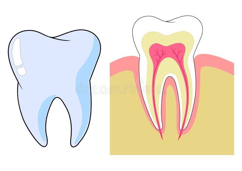 зуб иллюстрация вектора