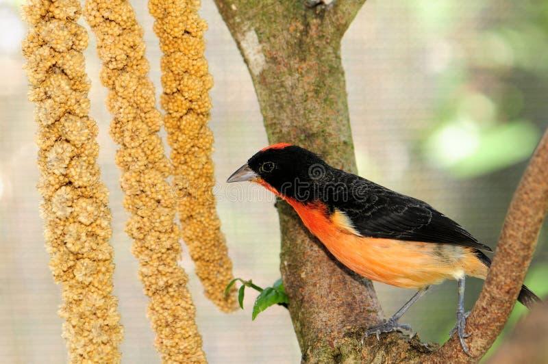 зяблик breasted птицей пунцовый стоковое изображение