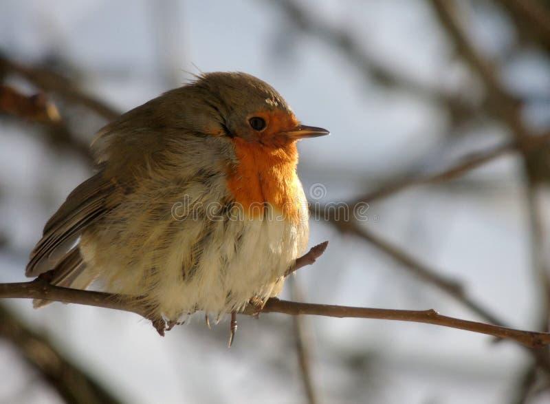 Зяблик на ветви в грушах в январе солнце заморозка стоковые фото