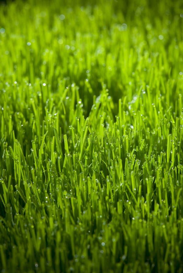 злаковик травы росы после полудня поздно естественный стоковая фотография