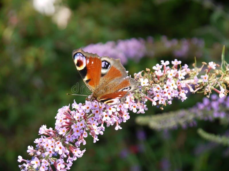 злаковик цветков бабочки после полудня поздно естественный стоковая фотография