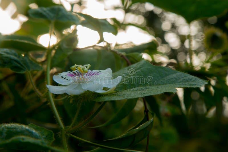 Зловонный passionflower стоковое фото