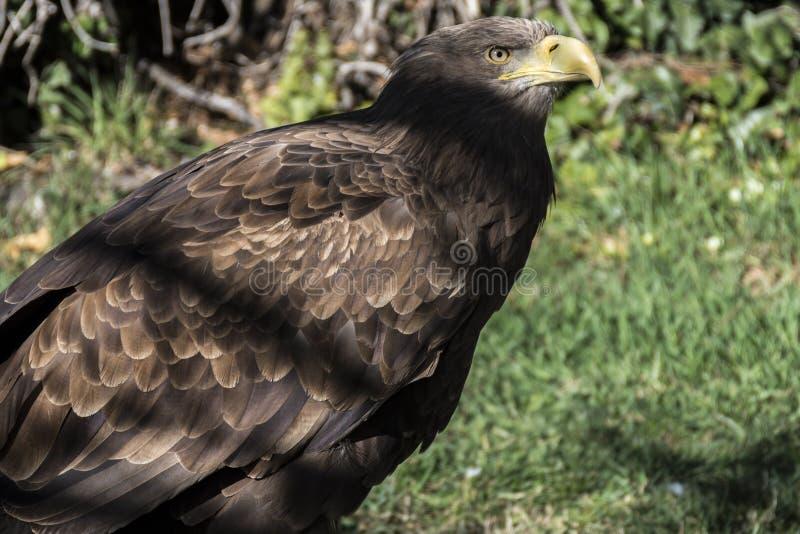 Иберийский орел стоковое фото