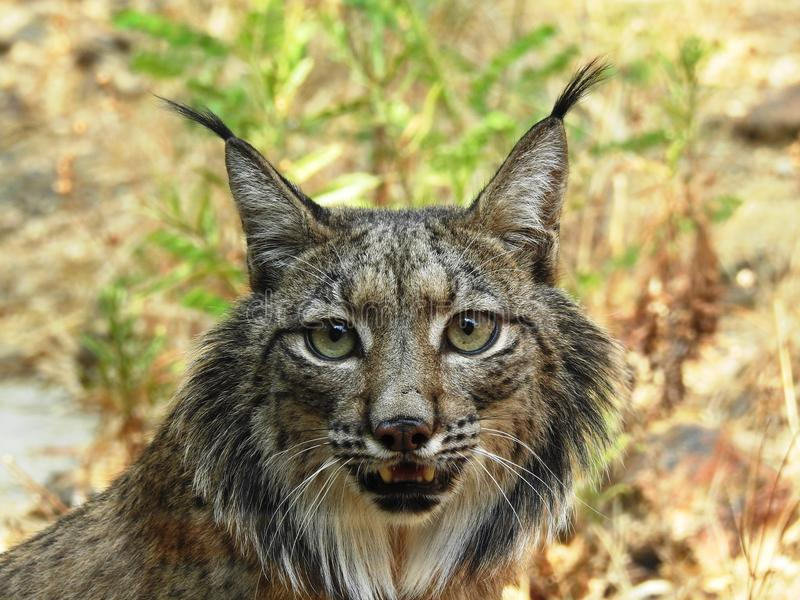 иберийский lynx стоковое изображение