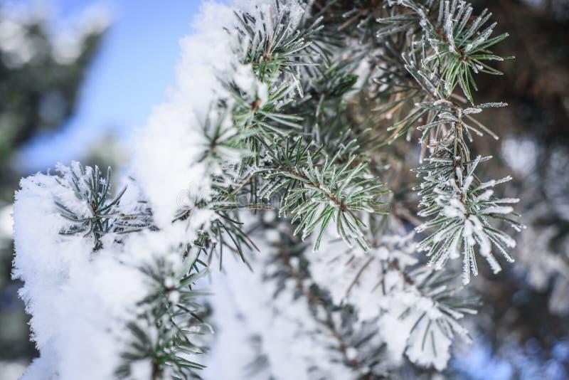 Иглы в снеге стоковая фотография