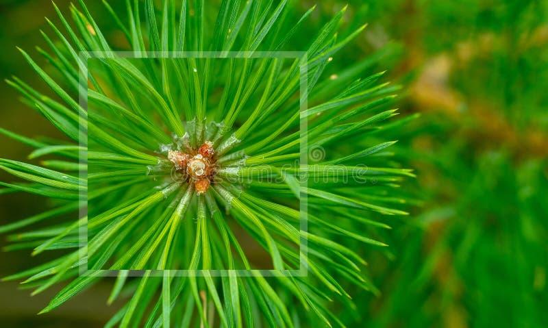 Иглы сосны расходятся от центра Зеленый sprig сосны Белорусский лес стоковое изображение rf