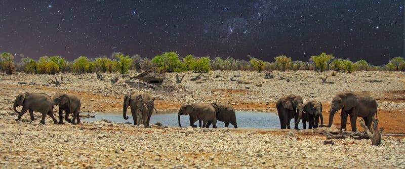 Играйте главные роли обитая ноча с слонами на waterhole, в Etosha стоковые изображения rf
