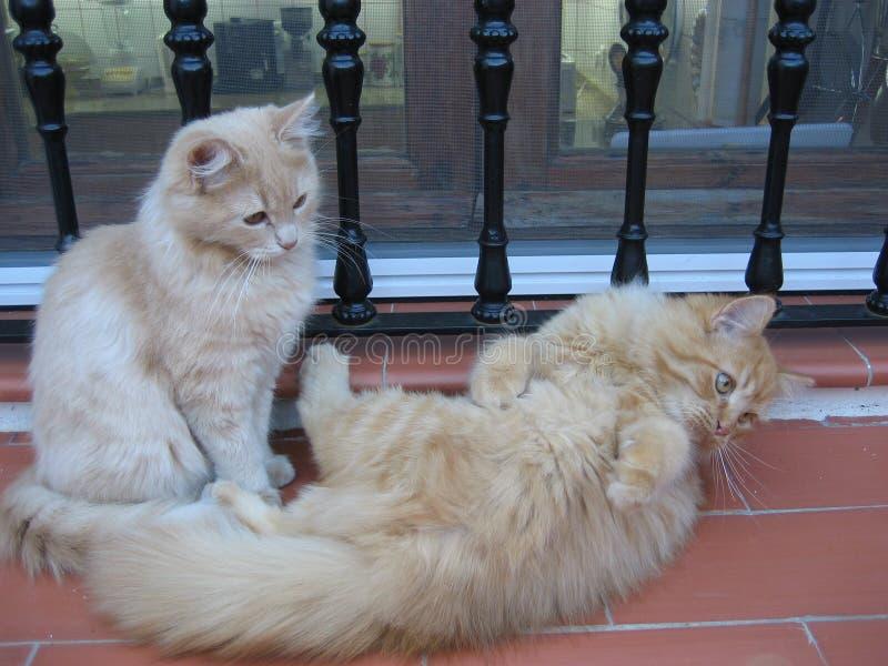 Играть андалузских котов стоковые фото