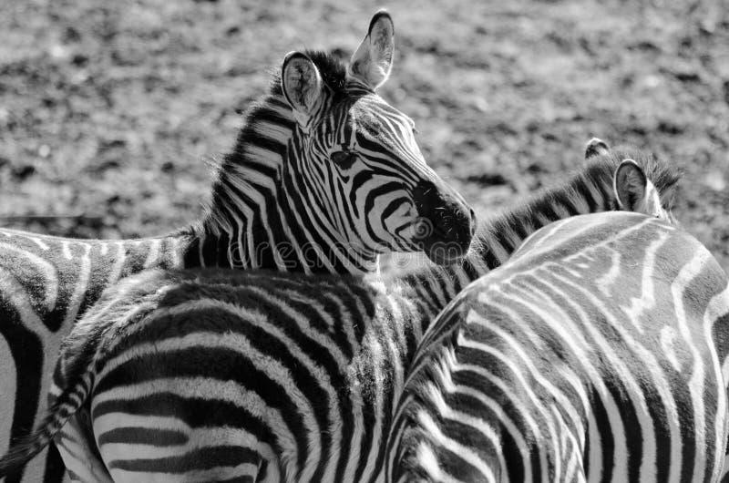 Играть зебр стоковая фотография rf