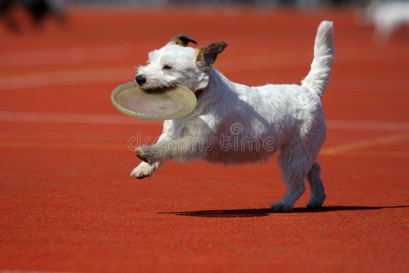 играть летания собаки диска стоковые фотографии rf