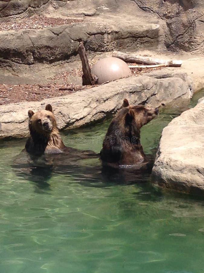 Играть медведей/заплывание стоковая фотография