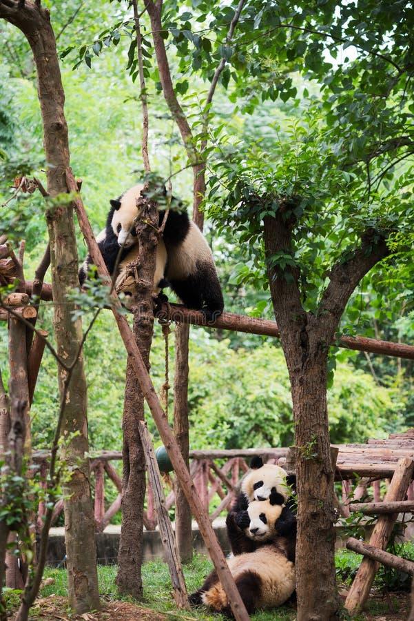 Играть 4 молодой гигантских панд стоковые изображения