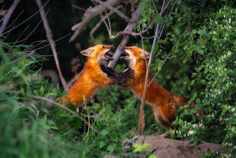 Играть 2 отпрысков красного Fox стоковые фото