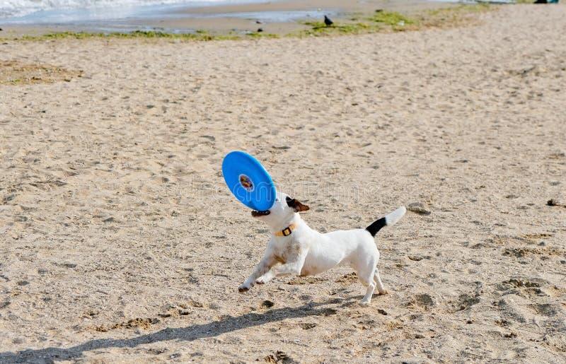 Играть собаки скача с пляжем летая диска на море стоковые изображения rf