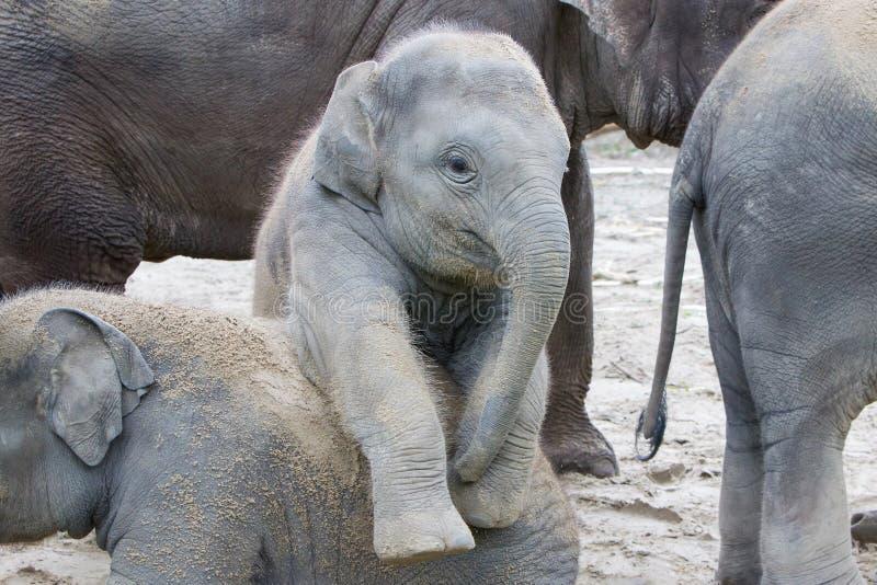 Играть 2 слонов младенца стоковые изображения rf