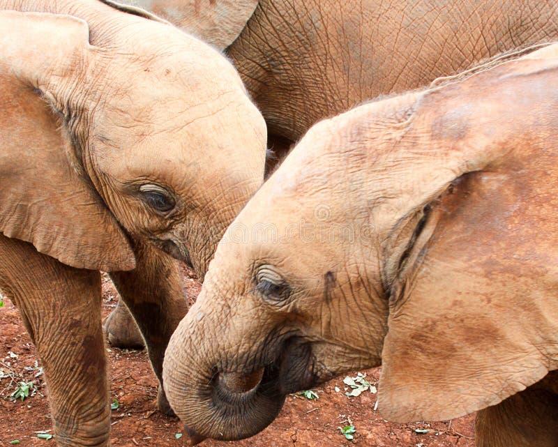 Играть слонов младенца стоковые фотографии rf
