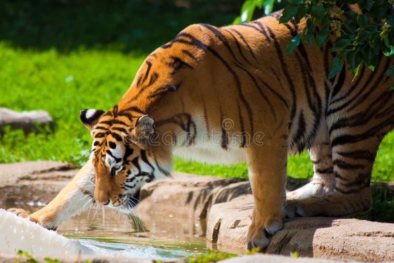играть тигра стоковое изображение