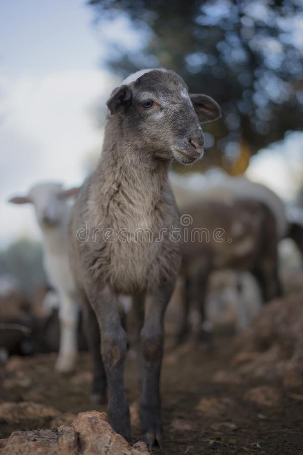 Играть Newborn овечек Принесенный в зиме стоковые изображения