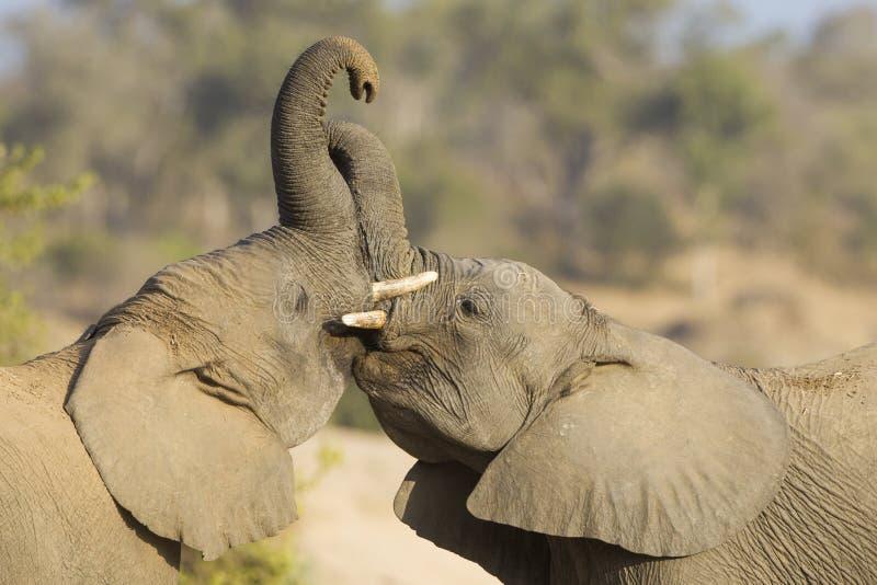 Игра 2 африканских слонов воюя в Южной Африке стоковые фотографии rf