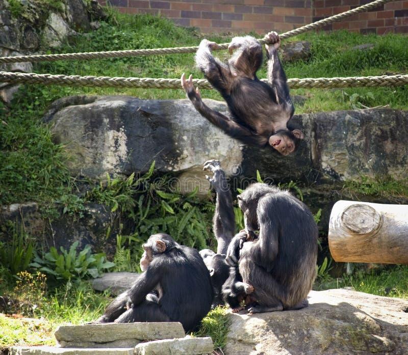 игра шимпанзеов стоковое фото rf