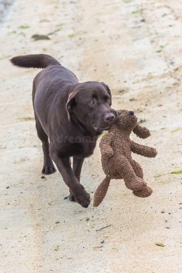 Игра labrador собаки стоковое фото rf