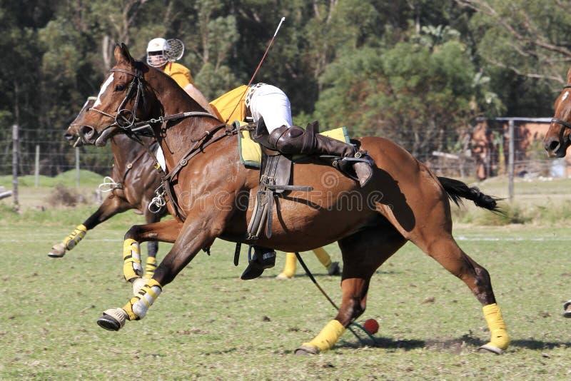 Игрок Polocrosse выбирая вверх шарик на галопе стоковая фотография rf