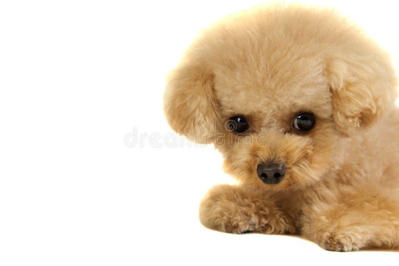 игрушка щенка пуделя стоковое фото